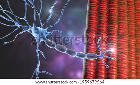Motor neuron connecting to muscle fiber, 3D illustration. A neuromuscular junction allows the motor neuron to transmit a signal to the muscle causing contraction. It is affected by toxins and diseases
