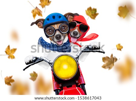 motorcycle diva lady fancy  dog driving a motorbike with sunglasses isolated on white background in windy autumn fall with leaves flying around