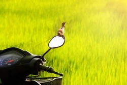 Motorcycle in the field, Sparrow on Mirror (Plain-backed Sparrow)