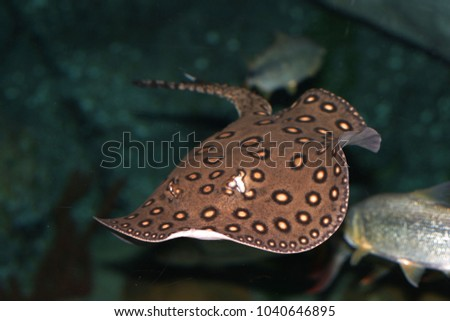 Motoro stingray (Potamotrygon motoro)