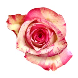 Mottled pink and cream rose flower isolated