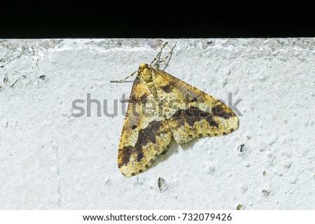 Mottled Umber Erannis defoliaria Stock photo ©
