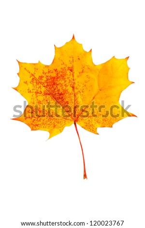 mottled yellow fallen autumn leaf isolated on a white background