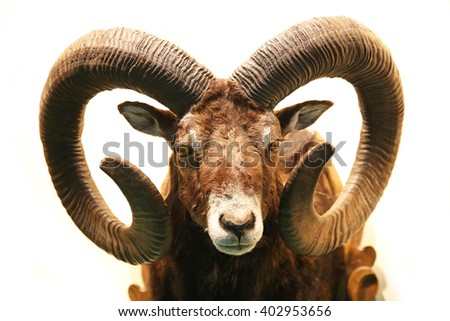 Mouflon hunting trophy isolated on white background #402953656