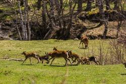 Mouflon in spring in Capcir, Pyrenees, France