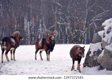 Mouflon Male (Ovis musimon) in the winter forest, horned animal in nature habitat #1297372585