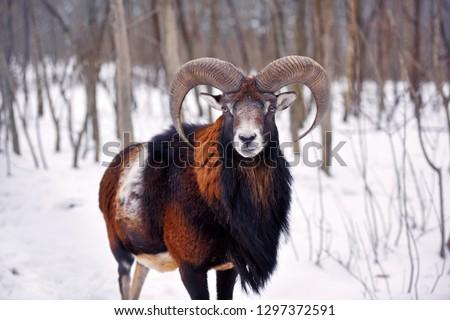 Mouflon Male (Ovis musimon) in the winter forest, horned animal in nature habitat #1297372591