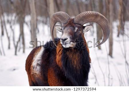 Mouflon Male (Ovis musimon) in the winter forest, horned animal in nature habitat #1297372594