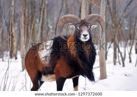 Mouflon Male (Ovis musimon) in the winter forest, horned animal in nature habitat #1297372600