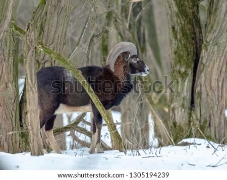 Mouflon Male (Ovis musimon) in the winter forest, horned animal in nature habitat. Animal in nature habitat.      #1305194239