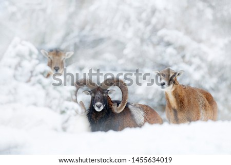 Mouflon, Ovis orientalis, forest horned animal in nature habitat. Close-up portrait of mammal with big horns, Czech Republic. Pair if animal, Winter portrait of big forest mouflon.  #1455634019