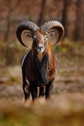 Mouflon, Ovis orientalis, forest horned animal in the nature habitat, portrait of mammal with big horns, face to face view, Praha, Czech Republic.