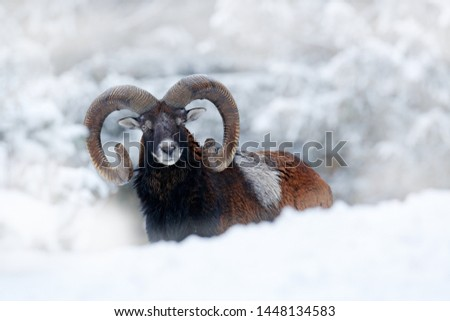 Mouflon, Ovis orientalis, horned animal in nature habitat. Close-up portrait of mammal with big horns, Czech Republic. Cold snowy tree vegetation, white nature. Snowy winter in forest. #1448134583