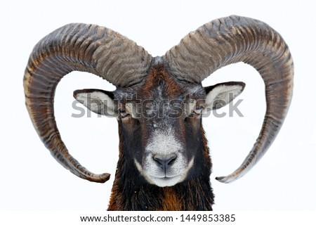 Mouflon, Ovis orientalis, horned animal in nature habitat. Close-up portrait of mammal with big horns, Czech Republic. Cold snowy tree vegetation, white nature. Snowy winter in forest. #1449853385