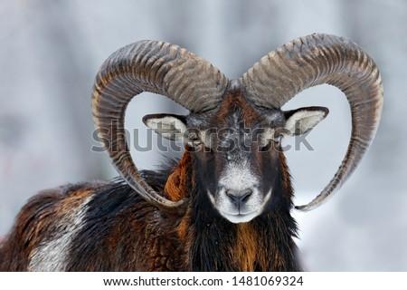 Mouflon, Ovis orientalis horned animal in snow nature habitat. #1481069324