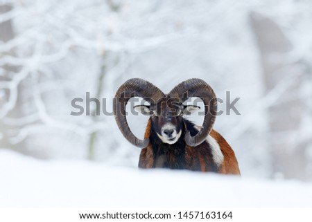 Mouflon, Ovis orientalis, horned animal in snow nature habitat. Close-up portrait of mammal with big horn, Czech Republic. Cold snowy tree vegetation, white nature. Snowy winter in forest. #1457163164