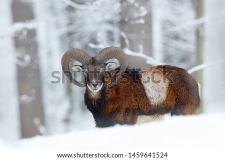 Mouflon, Ovis orientalis, horned animal in snow nature habitat. Close-up portrait of mammal with big horn, Slovakia. Cold snowy tree vegetation, white nature. Snowy winter in forest. #1459641524