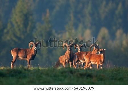mouflon, ovis orientalis orientalis