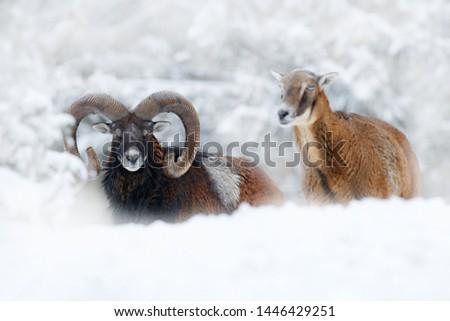 Mouflon, winter portrait of big forest animal. Mouflon, Ovis orientalis, forest horned animal in nature habitat. Close-up portrait of mammal with big horns, Czech Republic. Pair of big animals. #1446429251