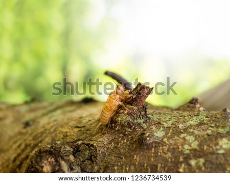 Moult of cicada with natural bokeh background. Close up of the full molting cicada slough on the tree after slough off the shell. Cicadae Periostracum or Cicada Slough as a herb food of china.