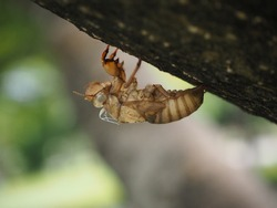 Moulting cicada. Cicada in the wildlife nature habitat using as background or wallpaper. Cicada insect stick on tree.