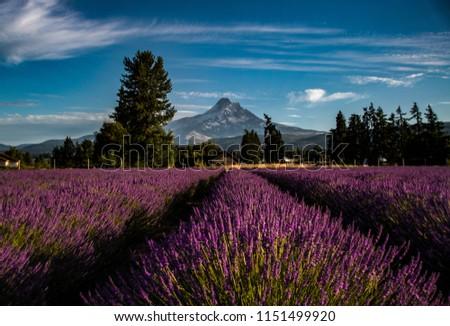 Landscape of lavender meadow on blue sky background / Lavender