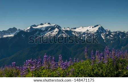 Mount Olympus Lupines