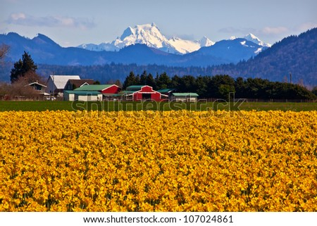 Mount Shuksan Red Farm Building Yellow Daffodils Flowers Snow Mountain Skagit Valley Washington State Pacific Northwest