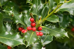 Mount Vernon, Washington State, USA. English holly (Ilex Aquifolium) with red berries.