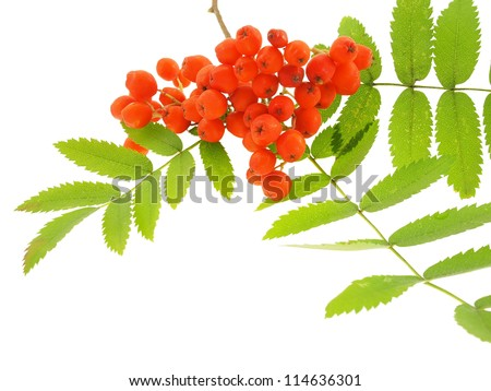 Mountain ash branch isolated on a white background.