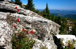 Mountain Ash, Dolly Sods Wilderness, Monongahela National Forest, West Virginia, USA
