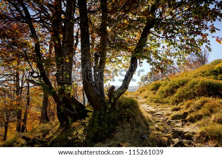 Mountain beech forest. Stone path to the top of the edge of the forest and alpine meadows