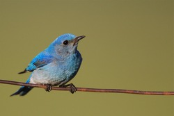 Mountain Bluebird blue bird perched on barb wire fence barbed, Yellowstone / Teton National Parks, Montana / Wyoming / Jackson Hole
