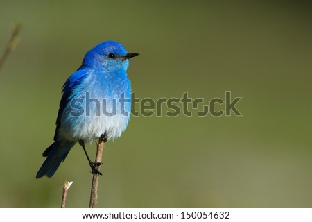 Mountain Bluebird perched against a natural green background in Yellowstone National Park Wyoming Montana Idaho songbird blue bird western eastern mountain