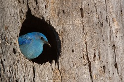 Mountain Bluebird, Sialia currucoides, male at nest hole at a cavity in a Ponderosa Pine tree in the Cascade Mountains, Washington State; Pacific Northwest birding and wildlife