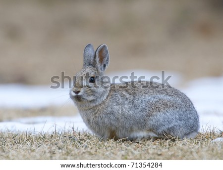 Mountain Cottontail on snow and grass