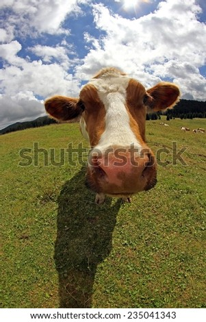 Mountain cow photographed with fish eye lens and blue sky with many white clouds