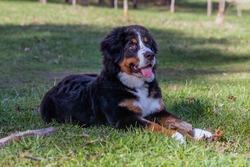 Mountain dogs or Swiss shepherd dogs