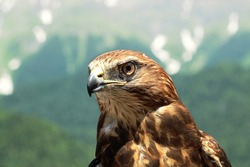 Mountain eagle in the Caucasus in the wild