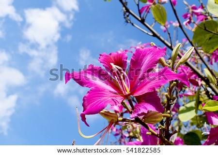 Mountain ebony  , Orchid Tree , Purple Bauhinia with blue sky in winter ,North Of Thailand #541822585