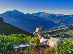 Mountain farm goat, which makes good goat cheese in the valley of Bourg Saint Maurice, Savoy, France.