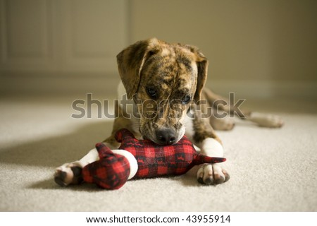 Mountain Feist and Beagle mix puppy playing with a stuffed dog