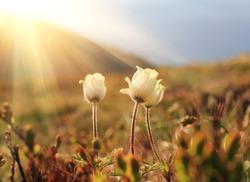 Mountain flower Pulsatilla