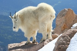 Mountain goat at the summit of Mount Evans in Colorado's Rocky Mountains