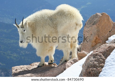mountain goat at the summit of...