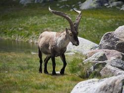 Mountain goat  Capra pyrenaica victoriae
