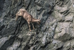 Mountain goat climbing on rock wall. Brave animal jumps in dangerous nature