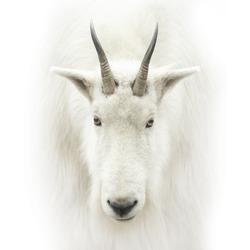 mountain goat head isolated on white