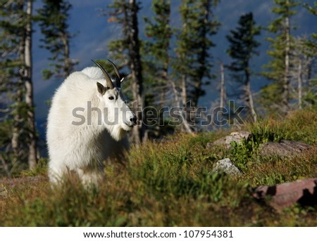 Mountain Goat in alpine / subalpine habitat, Glacier National Park