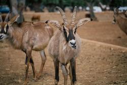 Mountain goat in Fasano apulia safari zoo Italy